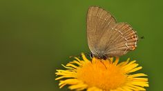 https://flic.kr/p/PuBkUs | Satyrium acaciae | The Sloe Hairstreak