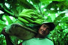 """Peeling Back the Truth on Bananas"" (website) (via Food Empowerment Project) Outlines the impact of banana production on people, animals, and the environment, highlighting issues such as unfair wages, threats of violence, damage to the environment, and more. Also makes recommendations for what to do."
