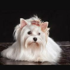 21 Best Gold Dust Yorkies Images On Pinterest Yorkie Yorkies And