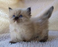 I say a Napoleon Kitten since the fur is long, like a Himalayan with short legs.
