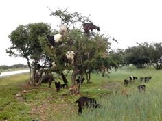 How cool and cute are these goats! Tree-climing goats in Morocco #animals #cute #funny