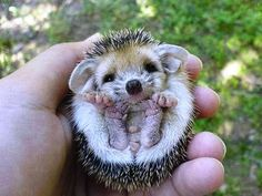 A baby echidna - only cute while they are little. (Pinterest Pat)