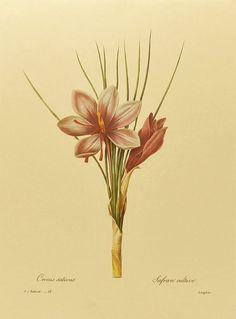 Saffron Crocus, Spring Flower Art, Lavender Home Decor, French Redoute Print No. 26