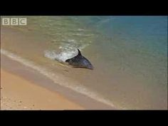 Hydroplaning Dolphins - BBC Planet Earth - their method for catching fish by beaching (hopefully only) the fish.