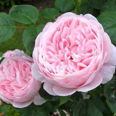 'Queen of Sweden' rose