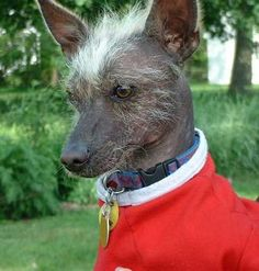 Xoloitzcuintle Dog Breed Information and Pictures, Mexican Hairless Dog, Xoloitzcuintli, Xolo Magyar Agar, Mexican Hairless Dog, Pet Peeves, Rare Animals, Crazy Dog, Dog Pictures, Dogs And Puppies, Doggies, Mammals