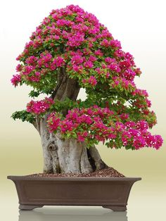 Bougainvillea Bonsai, Flowering Bonsai Tree, Bonsai Trees For Sale, Wisteria Bonsai, Bonsai Garden, Garden Trees, Trees To Plant, Plantas Bonsai, Ikebana
