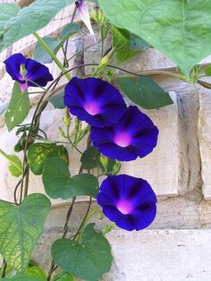 morning glory/牽牛花