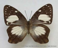 This butterfly was collected on Dobo, the largest of the Indonesian Aru Islands