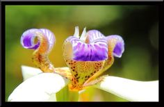 #Starwood Hawaii Dream Vacation  Neomarica Northiana or Walking Iris, Hawaii Tropical Botanical Garden