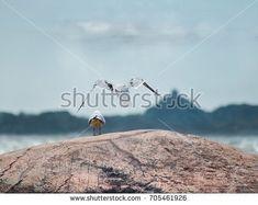 One Bird Tsking Care Another Arkivfoto (rediger nå) 705461926 Norway, Bird, Animals, Image, Animales, Animaux, Birds, Animal, Animais