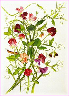 Everything about sweet peas including plating etc. Botanical drawing of sweet peas