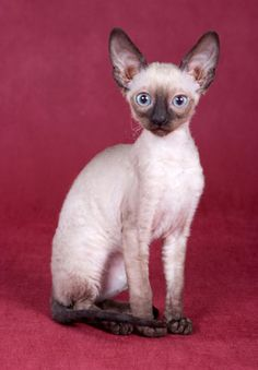 The Cornish Rex Cat - Cat Breeds Information And Breeder Directory Warrior Cats, Cute Kittens, Cats And Kittens, Cornish Rex Kitten, Munchkin Cat Scottish Fold, Baby Animals, Cute Animals, Devon Rex Cats, Pet Breeds