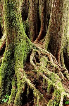 Hoh Rainforest -- Olympic National Park, Washington State USA