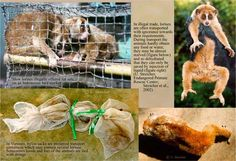 Illegal pet trade. Save the Slow Loris Project, Ranong