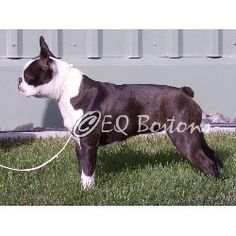 EQ+Bostons+Boston+Terrier