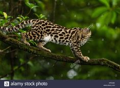 Margay Cat, Big Cats, Costa Rica, Panther, Little Ones, Kitty, Photos, Beautiful, Little Kitty