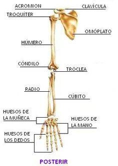 Sistema Oseo Huesos Del Cuerpo Humano Anatomia Humana Huesos