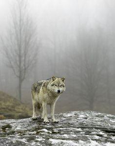 Lobo - Animal -> Por: Angel Catalán Rocher! CLICK -> pinterest.com/AngelCatalan20/boards/ <- Sígueme!