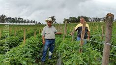 Trellis, The Expanse, Farmer, Plants, Outdoor, Vegetable Gardening, Grow Tomatoes, Mesh, Outdoors