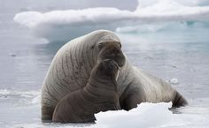 Walrus and baby