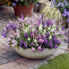 Angelonia Plants - Serena Mix - Suttons Seeds and Plants. I am going to . - Angelonia Plants – Serena Mix – Suttons Seeds and Plants. I am going to make one just li - Container Flowers, Flower Planters, Container Plants, Garden Planters, Lavender Planters, Large Garden Pots, Potted Garden, Large Flower Pots, Fall Planters