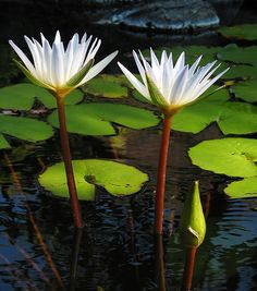 Two Lilies | Flickr - Photo Sharing!