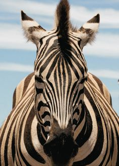 addo zebra