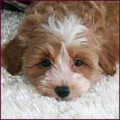 Fauna's Maltipoo, Maltepoo, Maltese Poodle Hybrid Puppies for Sale - Puppy Breeders Specializing in Healthy, Beautiful Mixed Breeds. Maltese Poodle Puppies, Baby Maltese, Teddy Bear Puppies, Spaniel Puppies, Terrier Puppies, Teacup Maltipoo For Sale, Maltipoo Puppies For Sale, Cute Teacup Puppies, Cute Baby Puppies