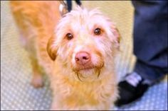 Ash: Podengo Portugueso, Dog; New York, NY