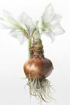 "Amaryllis ""Snow Queen"" bulb - Elaine Searle - American Society of Botanical Artists - watercolor Illustration Botanique, Illustration Blume, Botanical Illustration, Botanical Drawings, Botanical Prints, Art Floral, Watercolor Flowers, Watercolor Art, Gravure Photo"
