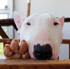 Resultado de imagem para love bull terrier #PitBull #PitBullMemes