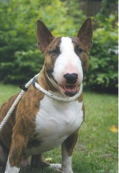 Bull Terrier are amazing dogs!! Sadly I don't have the temper to have one. I could not do a great job in raising one, so I let it for those who can and enjoy when seeing one!!!
