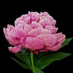 Pink Peony in Profile by Sarah Hollander