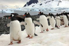 Penguins - conga line! Penguin Bird, Gentoo Penguin, Penguin Love, Penguin Parade, Penguins And Polar Bears, Cute Penguins, Animals And Pets, Baby Animals, Cute Animals