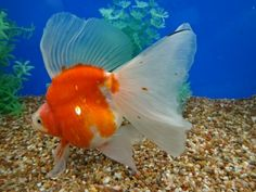 Ryukin Goldfish, Comet Goldfish, Salt And Water, Fresh Water, Golden Fish, Koi Ponds, Angel Fish, Fish Print, Exotic Birds