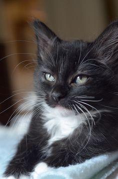 cute tuxedo cat
