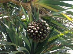 Die Frucht eines Schraubenbaumes