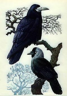 RARE Original c1946 Tunnicliffe Print Black Crow Rook Raven Birds