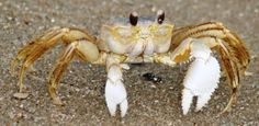 Ghost crabs are semiterrestrial crabs of the subfamily Ocypodinae. Description from imgarcade.com. I searched for this on bing.com/images