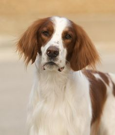 Red and White Setter - Devoted, playful, reliable