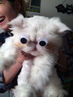 Los ojos móviles llegan a los gatos.