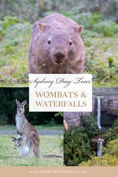 Wombats, Kangaroos, and Waterfalls - An Amazing Sydney Day Tour
