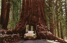#26. drive through a Californian redwood.