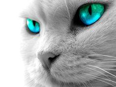 Resultados de la Búsqueda de imágenes de Google de http://www.bancodeimagenes.name/media/2012/10/gato-con-ojos-color-turquesa.jpg