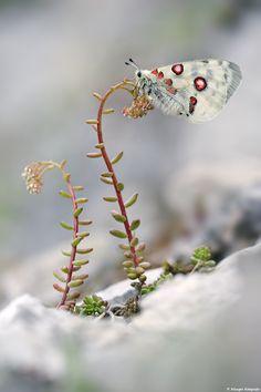 Parnassius apollo by Philip Klinger