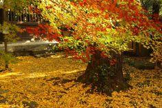 가을의 오동나무 한 그루