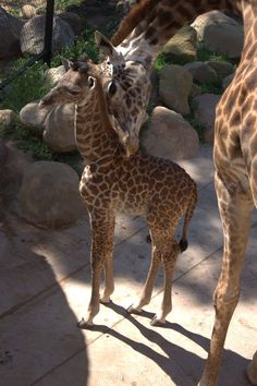 The Santa Barbara Zoo has a new Masai Giraffe calf. Audrey, aged eight, gave birth to the calf on the evening of March 26 in the Zoo's Giraffe Barn, after approximately five hours of labor.