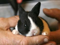 A Dutch Rabbit baby at the Houston Livestock Show and . Bunny Paws, Baby Bunnies, Cute Bunny, Bunny Rabbits, Hunny Bunny, Rabbit Life, Rabbit Baby, Animals And Pets, Baby Animals