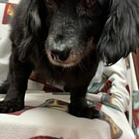 Pin By Antonella Doherty On Loving Family Need It In 2020 Dachshund Rescue Cute Dogs And Puppies Pet Adoption